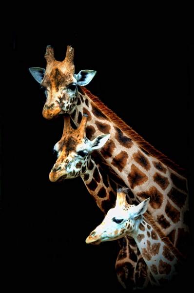 Giraffes by sully