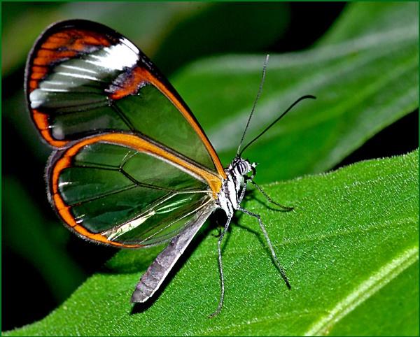 Greta Oto-Glasswing Butterfly. by Badgerfred