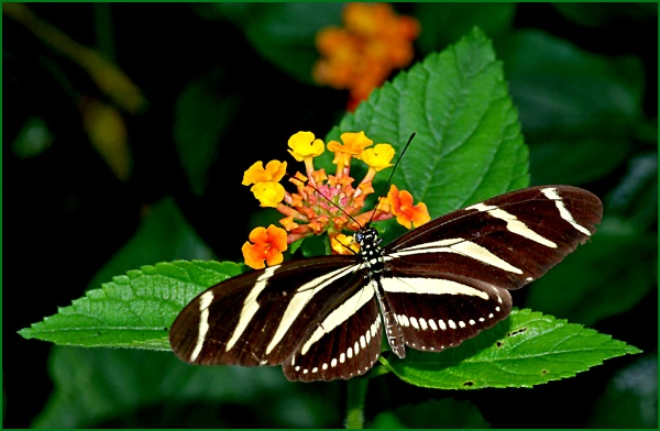 Heliconius charithonia-Zebra longwing. by Badgerfred