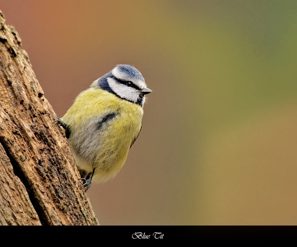 Blue Tit by FeatherFriend