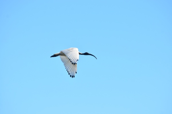 ibis in flight by naturephotography