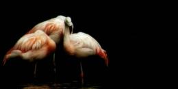 Pretty Flamingos