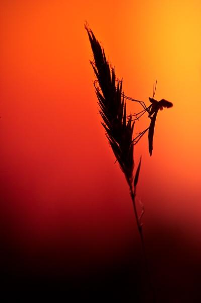 plume moth by olafo