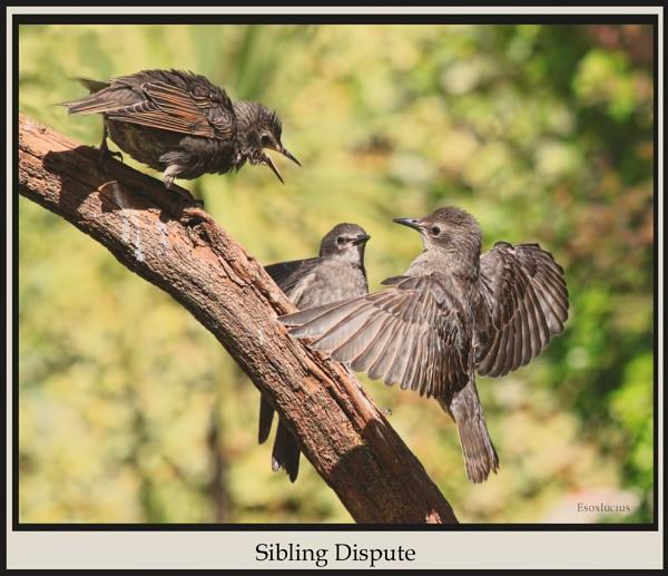 Sibling Dispute by esoxlucius