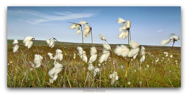 Eriophorum angustifolium  -  Cotton grass/ bog cotton  - by YorkshireSam