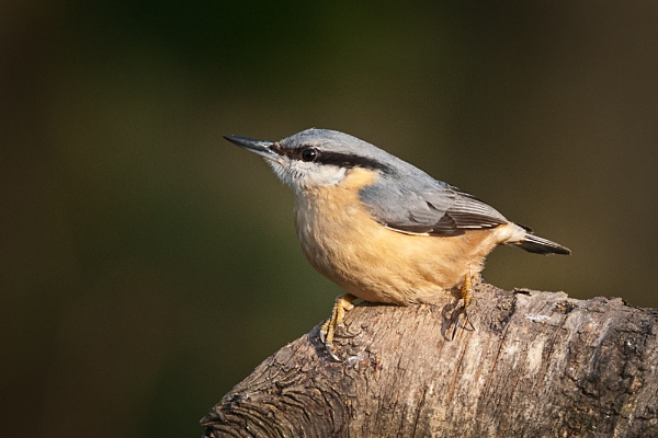 Nuthatch by jasonrwl