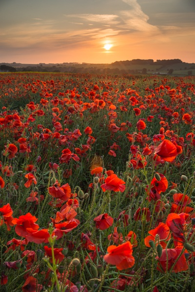 Tisbury - Poppies by clearinnervision