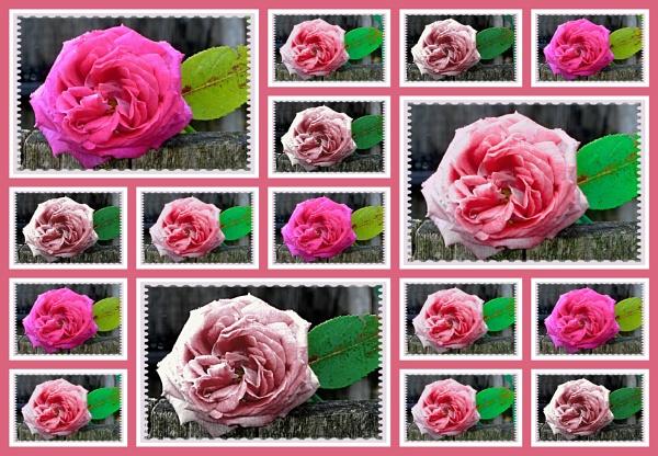 Roses roses everywhere !! by Chrisjaz