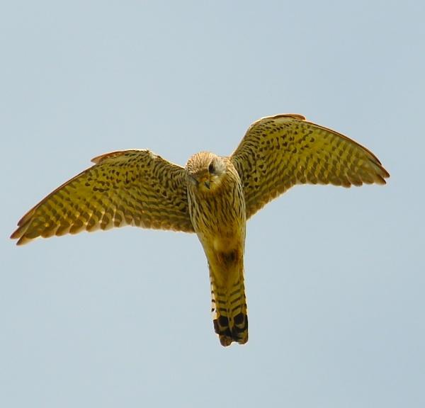 Hovering Kestrel by StuartDavie