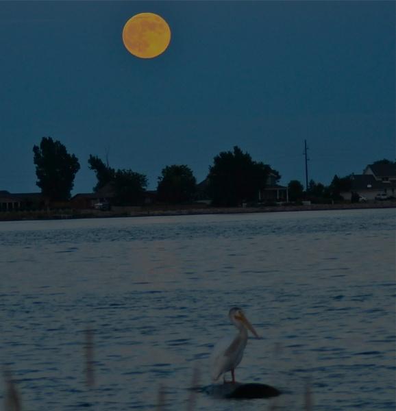 Pelican Moonrise by StuartDavie