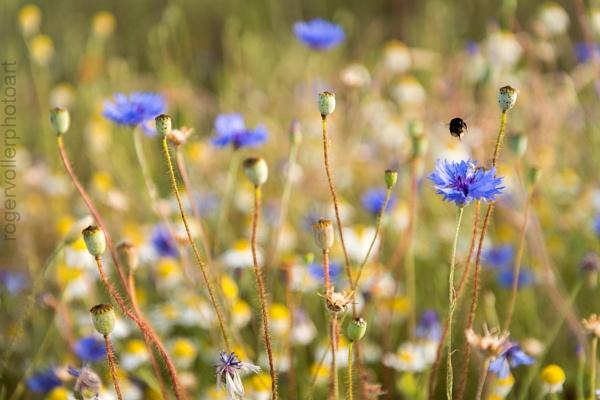 Wild Meadows by rvoller