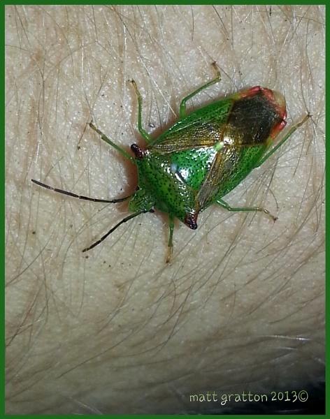 hawthorn shieldbug by mohikan22