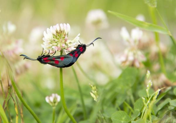 Burnet moths by HelenaJ