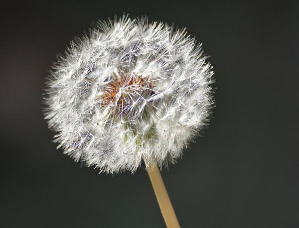Dandelion by Lynniesefforts