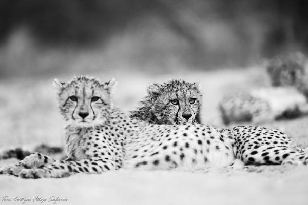 BW Cheetah by TomCoetzee