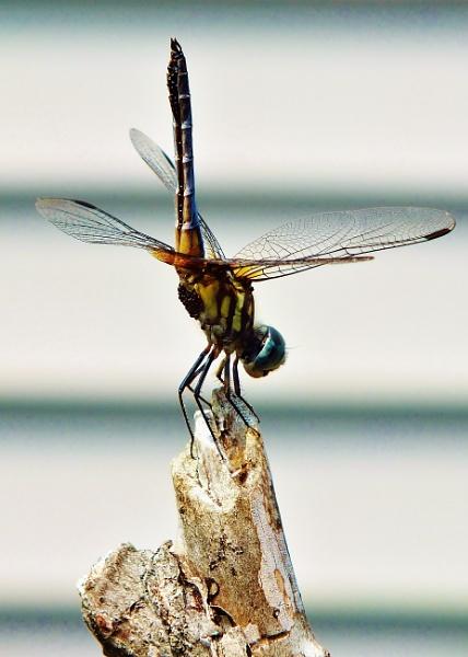 dragonfly II by cptdaniel