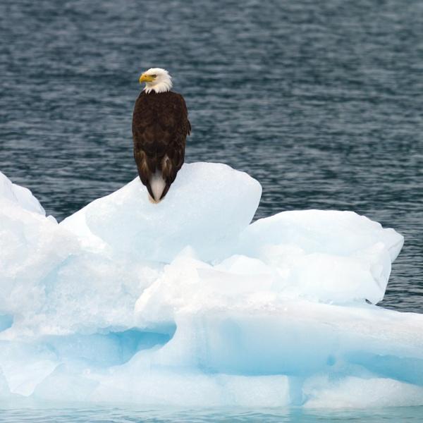 Bald Eagle on iceberg by PieterDePauw