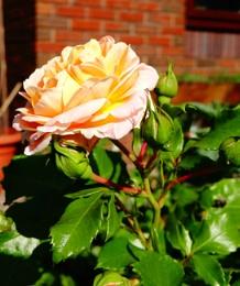 Rose in the Garden..