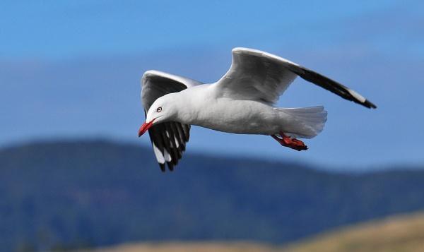 Silver Gull in flight by steevo46