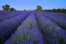 Somerset Lavender Field