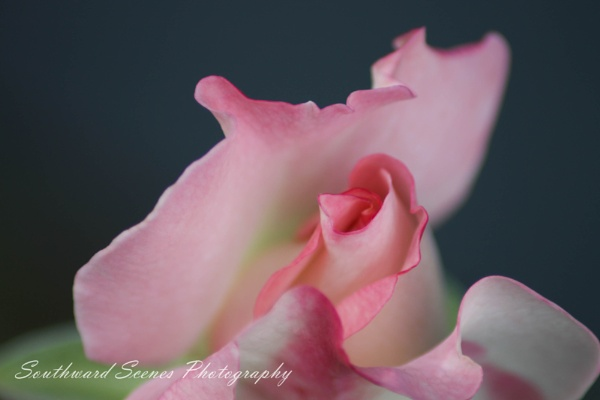 The pride of my garden by shutterbug8156