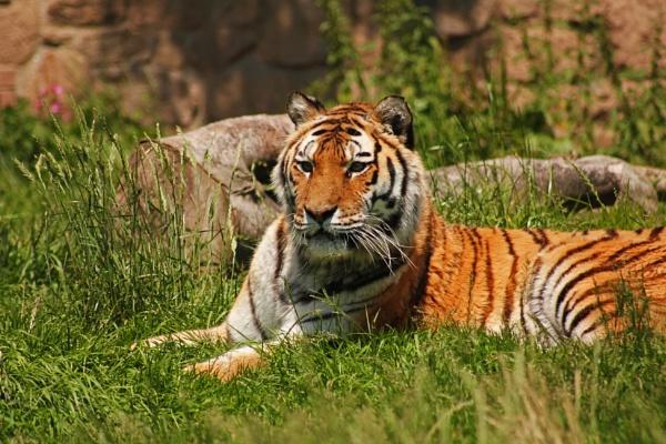 Tiger at Dartmoor Zoo