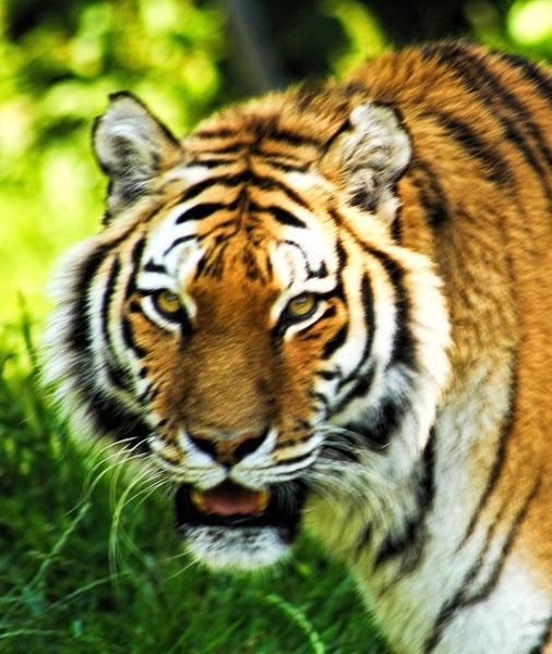 Tiger, Dartmoor Zoo