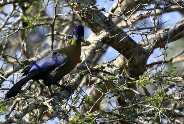Purple-crested Turaco by espresso