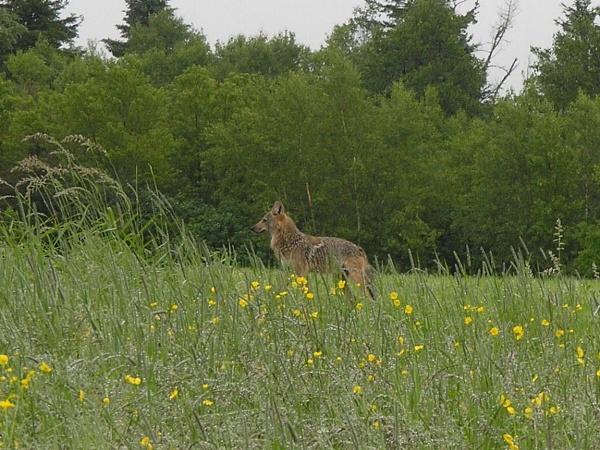 Coyote by cindyblacklock