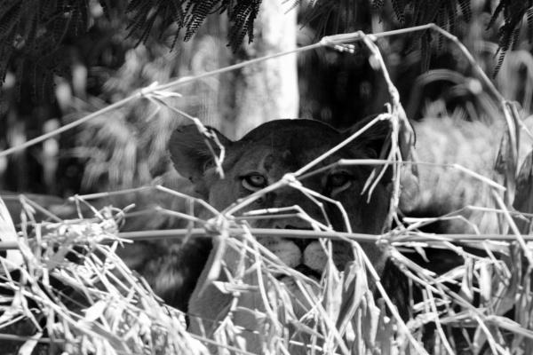 Hidden Lioness by Broodhound