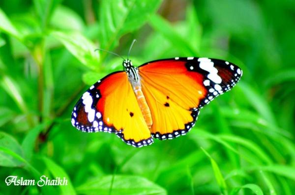 butterfly by aslamshaikh104