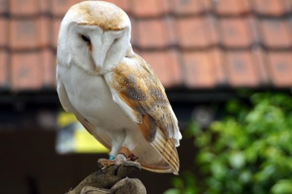 Barn Owl by Dalejackson