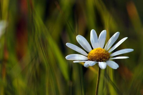 Daisy by Dalejackson