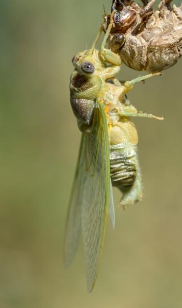 Cicada emerges by Gaucho