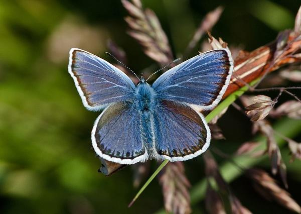 Silver-studded Blue Butterfly (Male) by DerekL