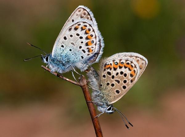 Silver-studded Blue Butterflies by DerekL