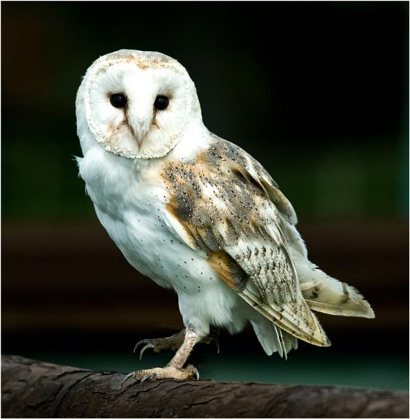 Barn Owl by dven