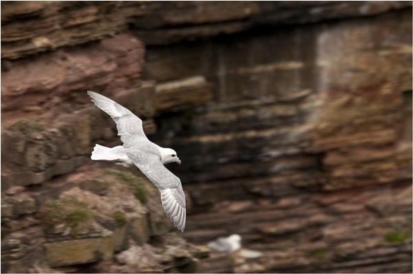 Fulmar in flight by dven