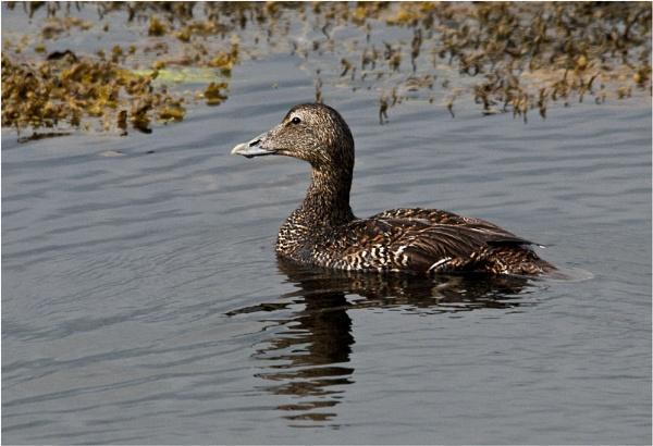Female Eider Duck by dven