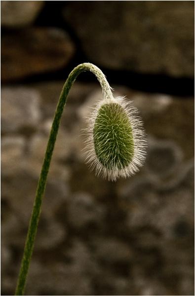 Poppy Pod by dven
