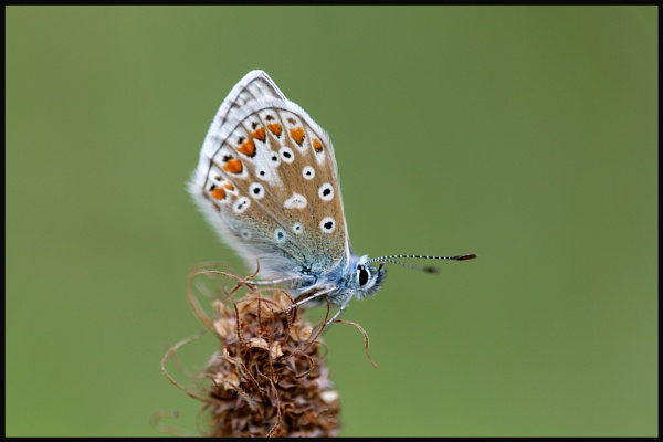 Common Blue by BRabbitts