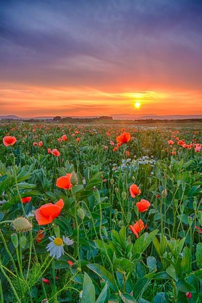 Poppy Field near Inverness by Colin_Leslie