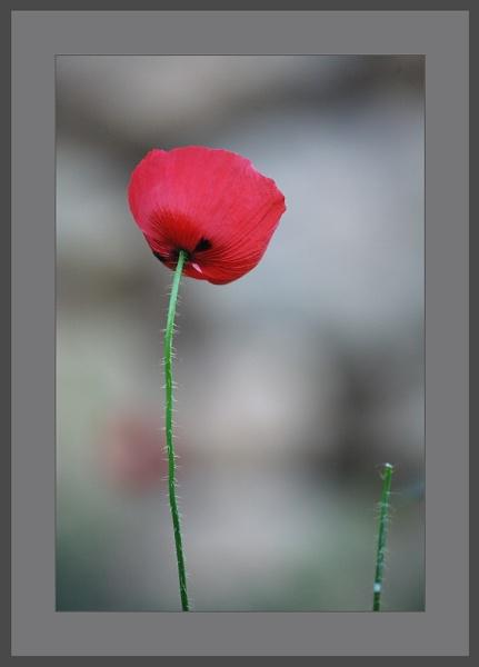 Poppy by museebfoto