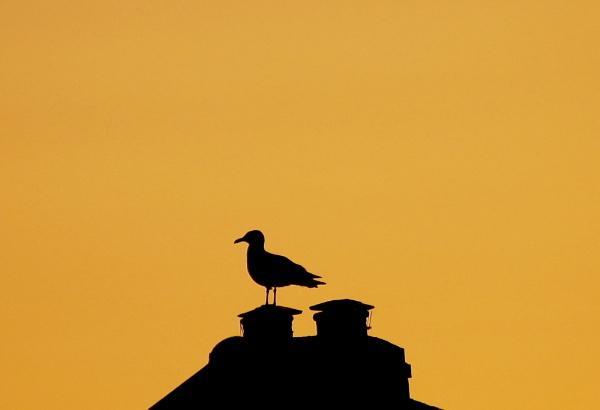 Village Gull by warbstowcross