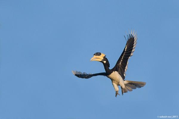 Malabar Pied Hornbill [Male] by subashcr