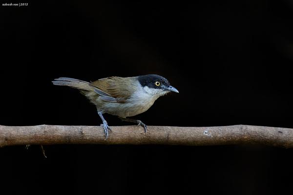 Dark-fronted Babbler by subashcr