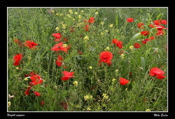 Norfolk poppies by oldgreyheron