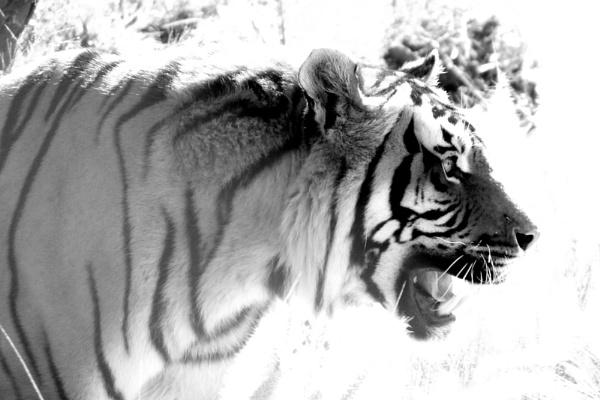 Tiger by Lourens_Vorster