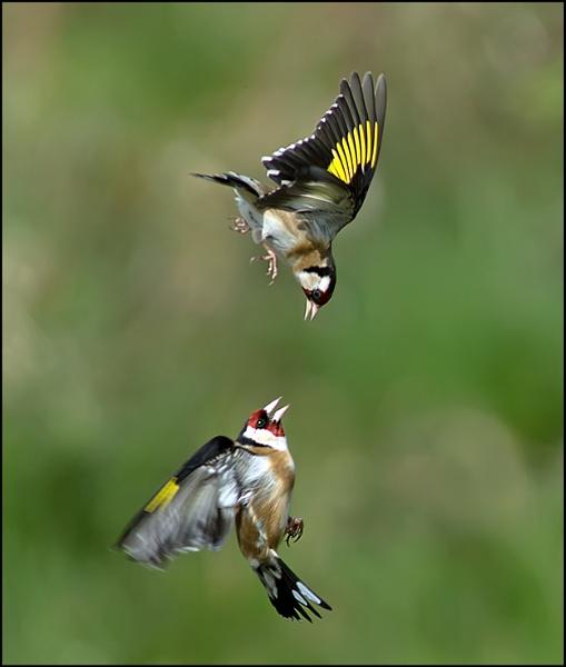 Fighting Birds by jim5955