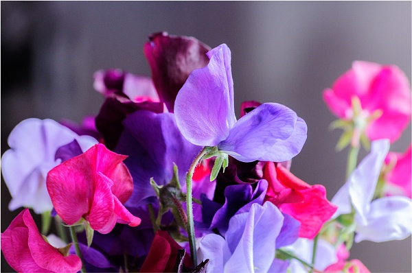 Sweetpeas by gmorley